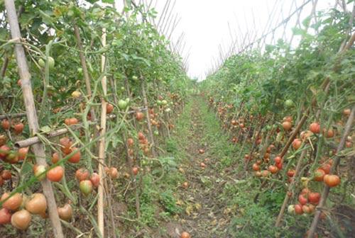 Cà chua giấm hóa chất, người trồng không dám ăn - 1