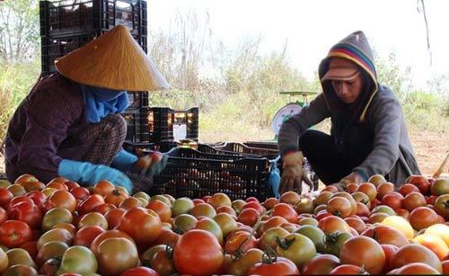Sau dưa hấu Quảng Ngãi, cà chua Đà Lạt rớt giá, chờ vứt bỏ - 1