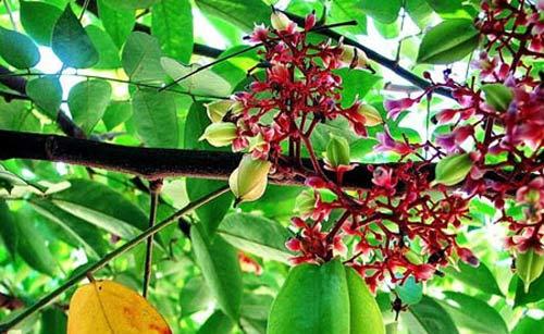 Trái khế chua trong ẩm thực vùng Cửu Long Giang - 1
