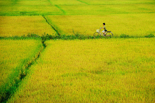 Cánh đồng lúa chín - 30 Hình ảnh cánh đồng lúa chín ở miền Tây Nam Bộ