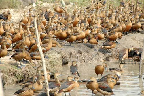 Thuần hóa chim trời giá nửa triệu mỗi con - 1