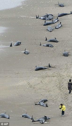 Cá heo mắc cạn la liệt, Nhật Bản lo siêu động đất - 1