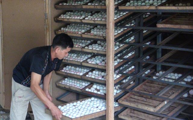 Làm giàu từ lò ấp trứng vịt - 1