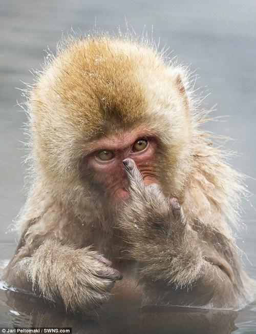 Bị quấy rầy giờ tắm, chú khỉ giơ 'ngón tay thối' về phía nhiếp ảnh gia - 1