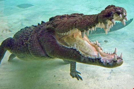 Nuôi cá sấu làm thú cưng suốt 60 năm - 1