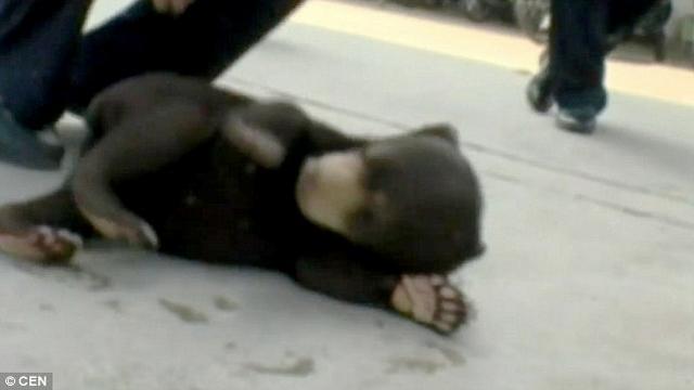 TQ: Chó hoang được nhận nuôi bỗng... hóa gấu - 1