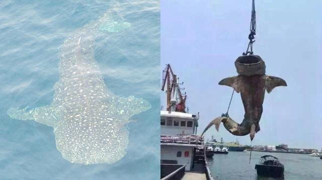 """Cá mập voi khổng lồ bị giết hại, """"treo cổ"""" ở Trung Quốc - 1"""