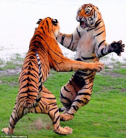 Hổ đứng thẳng 2 chân đánh nhau như phim chưởng - 1