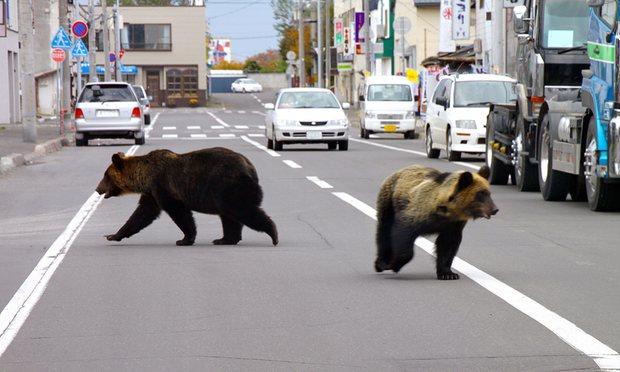 4 người Nhật bị gấu tấn công đến chết - 1