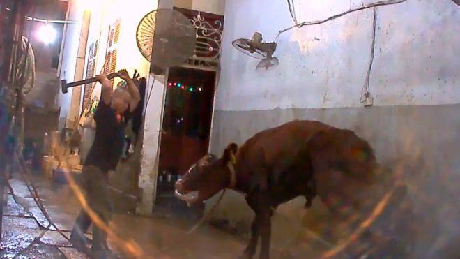 Úc lên án người Việt giết bò bằng búa tạ quai vào đầu - 1