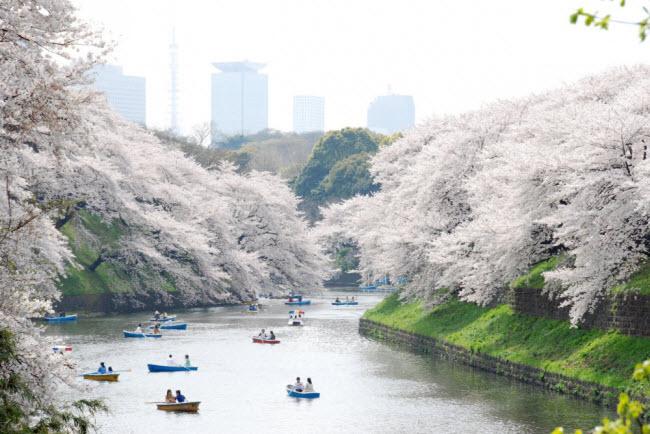 Chiêm ngưỡng hoa anh đào nở đẹp như mơ tại Nhật Bản.
