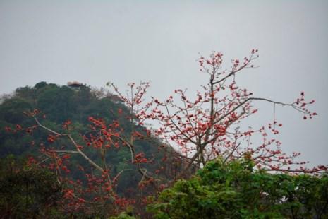 Ngắm hoa gạo đỏ rực trong rừng Cúc Phương - 1