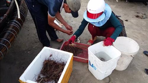 Đến Cửa Tùng săn tôm hùm, kiếm tiền triệu mỗi ngày - 6