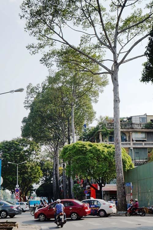 """Sắp """"khai tử"""" hàng chục cây cổ thụ ở trung tâm Sài Gòn - 1"""