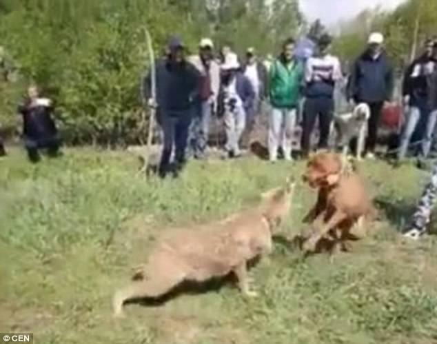 Chó sói khổ sở chống đỡ chó nhà trong trận chiến sinh tử - 1