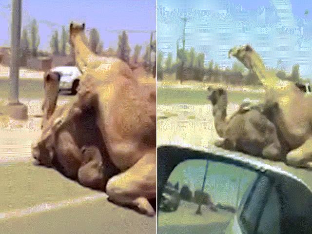 """Lạc đà điềm nhiên """"yêu"""" giữa đường gây ách tắc giao thông"""