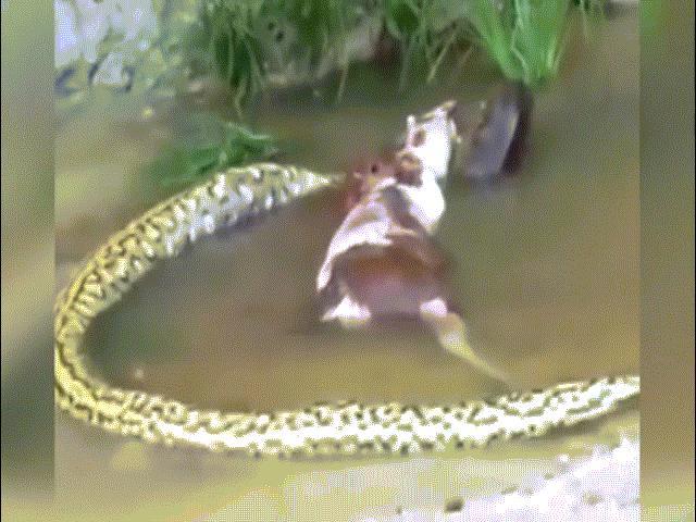 Trăn khổng lồ anaconda vật vã nôn, cả một con bò chui ra