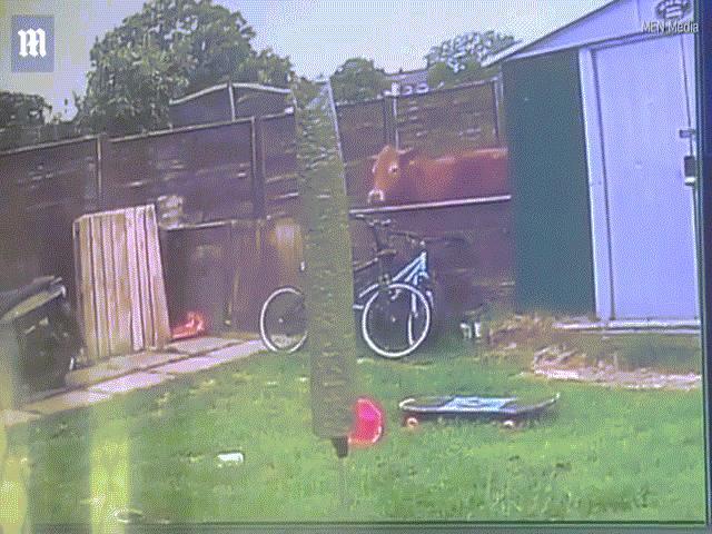 """Bị cô gái trẻ """"nhìn đểu"""", bò nổi điên nhảy qua hàng rào truy sát"""