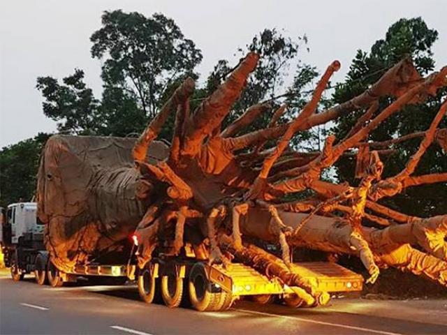 """Lộ diện 3 xe ô tô khủng chở cây """"quái thú"""""""