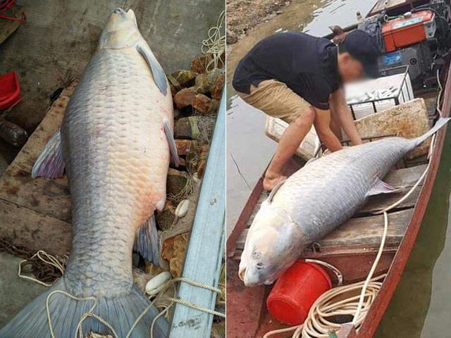 Nóng 24h qua: Cá trắm khổng lồ xuất hiện ở Yên Bái - 1