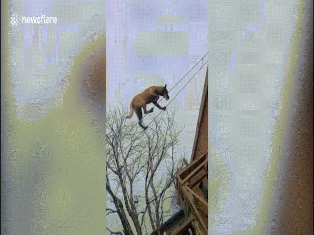 Chú chó đi trên dây lên mái nhà tài tình như làm xiếc