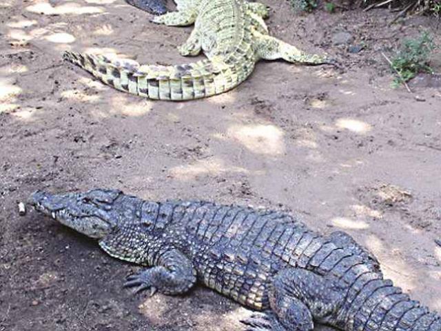 Zimbabwe: Nhảy xuống hồ, bị 3 cá sấu xé nát tay, ngoạm đầu