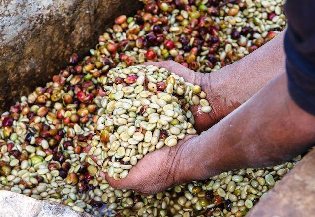 Giá nông sản hôm nay 7/4: Giá cà phê giảm mạnh 600 đồng, giá tiêu tăng nhẹ - 1