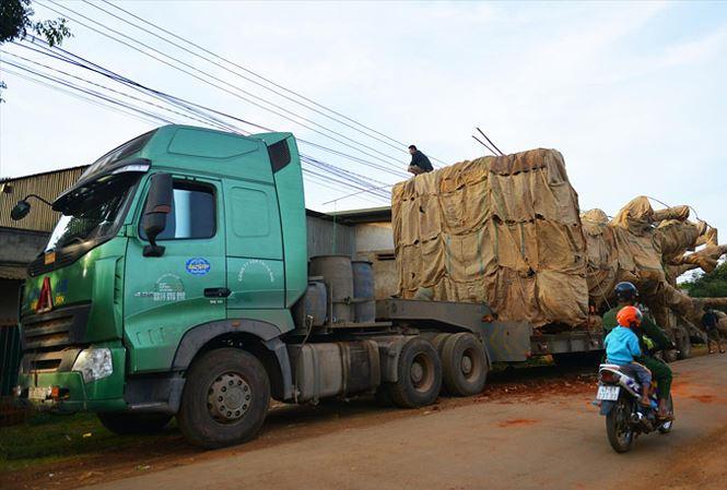 Truy nguồn gốc cây khủng vận chuyển xuyên Việt: Rối như tơ vò - 1