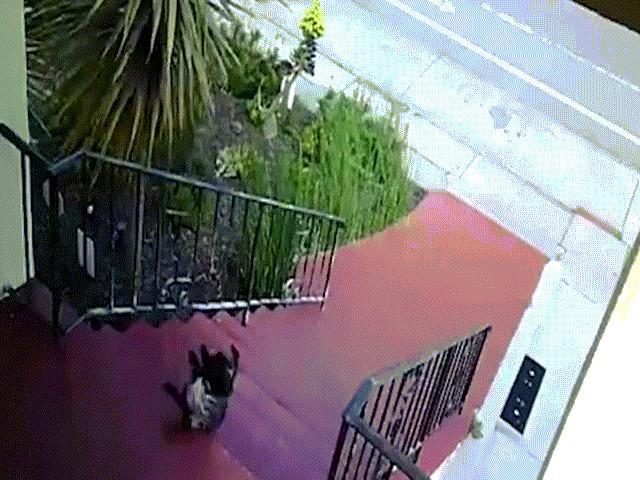 Chó ngã lăn nhiều vòng xuống cầu thang vì quá béo