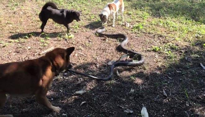 Video: Hổ mang chúa khổng lồ khốn khổ chống chọi đàn chó bên hố nước - 1