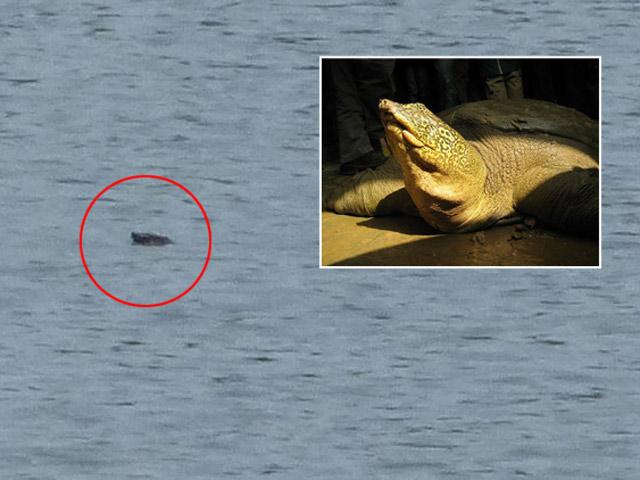 Cầu cứu bảo vệ rùa Hoàn Kiếm mới phát hiện