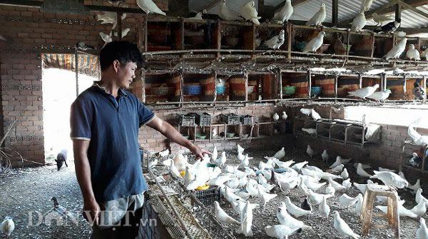 Nuôi 2.000 con chim bồ câu trắng, mỗi tháng lãi 30 triệu đồng - 1