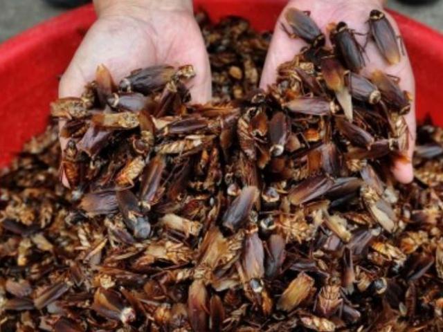 Trang trại Trung Quốc xuất xưởng 6 tỉ con gián mỗi năm