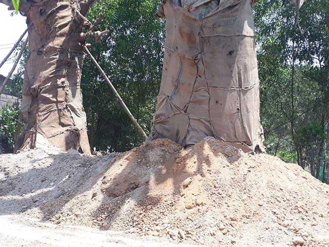 """Nơm nớp lo cây """"quái thú"""" trồng tạm ở TT Huế đổ đè nhà dân - 1"""