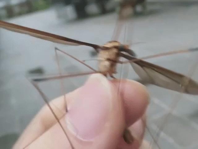 """Khiếp sợ muỗi """"quái vật"""" to bằng bàn tay ở Trung Quốc"""