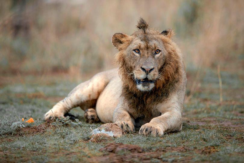 """Sư tử có """"kiểu tóc ăn chơi"""" gây sốt mạng - 1"""