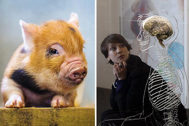 Não lợn sống hai ngày ngoài cơ thể, tiếp đến là não người? - 1