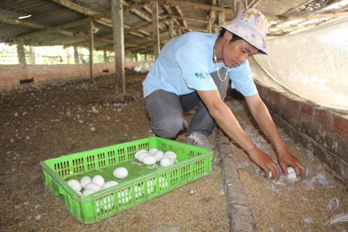Lãi 3 triệu đồng/ngày nhờ nuôi vịt quy mô lớn và bài bản - 1