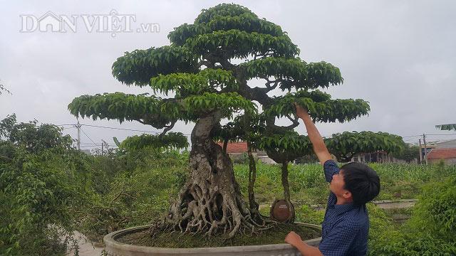 Giới chơi cây lại sốt xình xịch với siêu cây 100 tuổi, giá tiền tỷ - 1