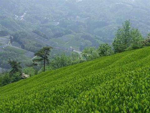 """Mở bán trà """"cố đô"""" giá hàng chục triệu đồng/kg tại Nhật Bản - 1"""
