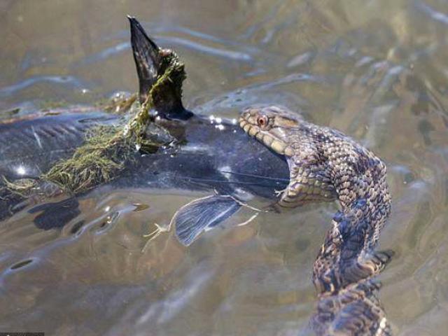 Cận cảnh rắn nước vật lộn nuốt chửng cá trê khổng lồ