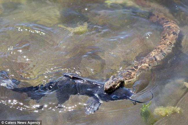 Cận cảnh rắn nước vật lộn nuốt chửng cá trê khổng lồ - 1