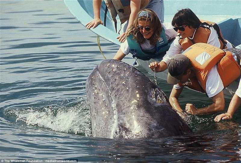 Cá voi 15m bơi sát thuyền, du khách thoải mái vuốt ve - 1