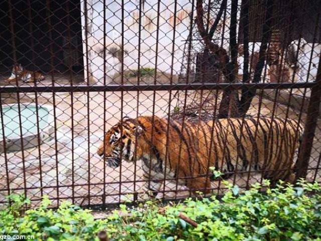 Hổ dữ vồ chết nhân viên vườn thú ở Trung Quốc