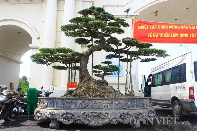 """Siêu cây dáng """"Long cổ đại"""" 15 tỷ không bán của đại gia Hải Dương - 1"""