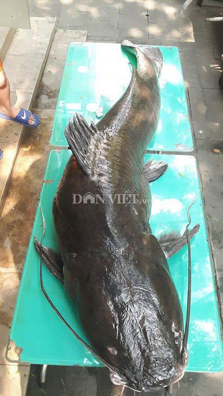 Hà Nội: Xuất hiện cá lăng dài 2 mét, nặng 100kg - 1