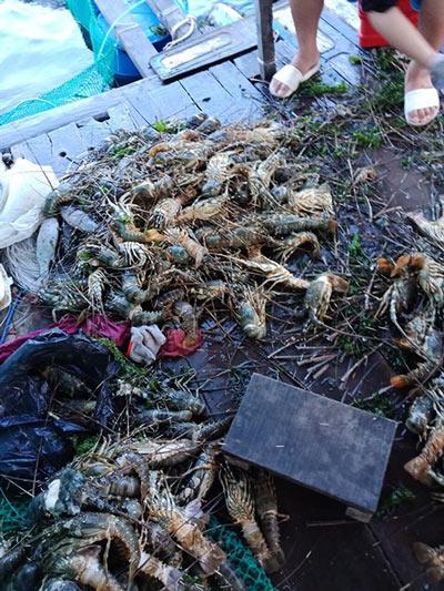 Khánh Hòa: Tôm hùm chết hàng loạt, dân vội bán tháo giá 300.000đ/kg - 1
