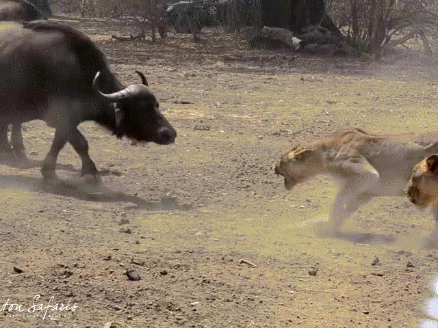 """Trận """"huyết chiến"""" giành địa bàn giữa sư tử và trâu rừng"""