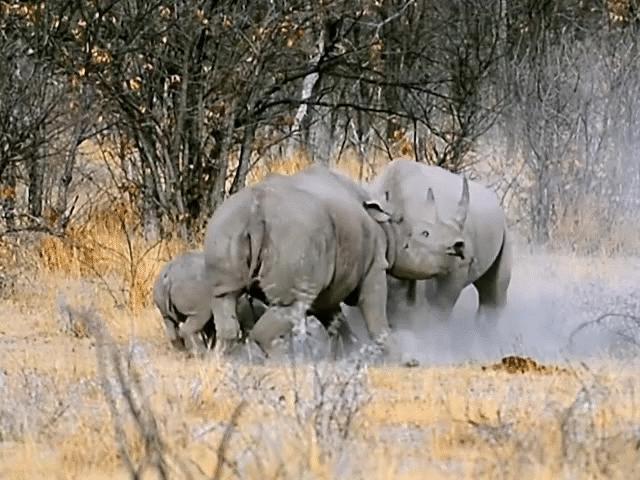 Tê giác giao chiến nảy lửa vẫn dùng thân mình bảo vệ con