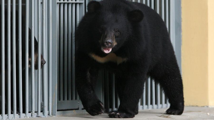 Nuôi chó ngao Tây Tạng 2 năm mới té ngửa ra đấy là gấu - 1